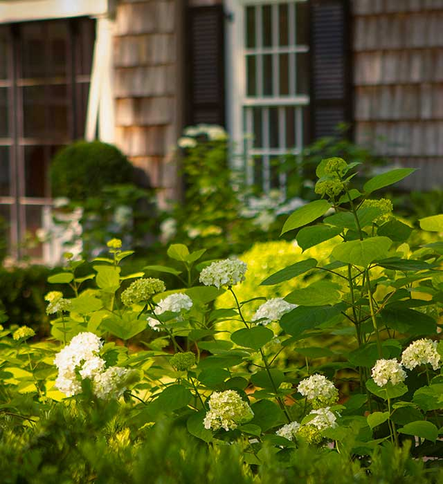 Cape Cod Entry Court with hydrangeas