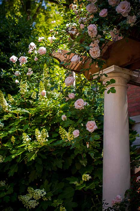Perfect rose arbor in morning light